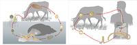 Модель-аппликация Циклы развития печеночного сосальщика и бычьего цепня