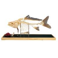 Модели по зоологии Cкелет рыбы